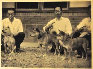 NIPPO - первые собаки, восстановление породы сиба-ину