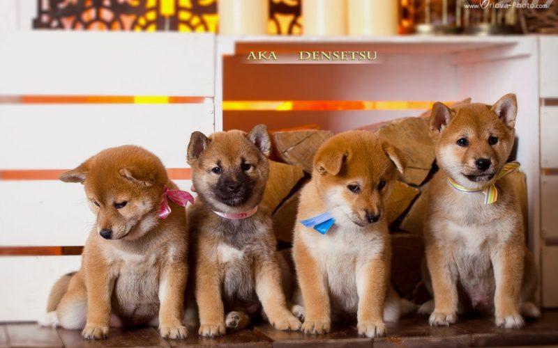 Купить щенка сиба ину в Воронеже